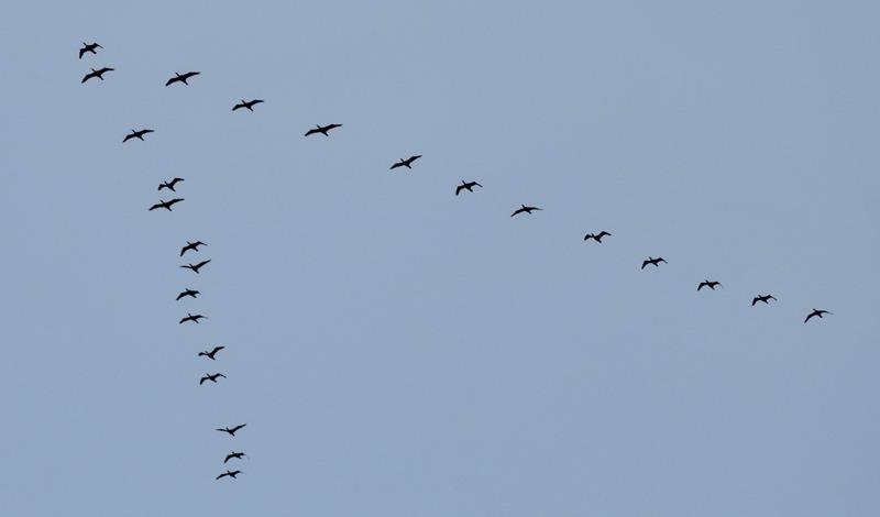 A flock of 25 Cormorants in V formation.