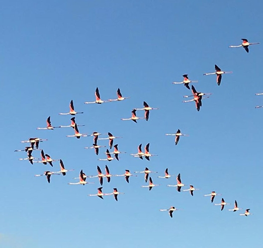 Flamingoes, some of the 49 counted.    Photo:-  EPRU
