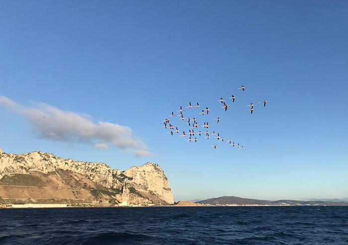 Flamingoes flying off the east side of the Rock.    Photo:- EPRU