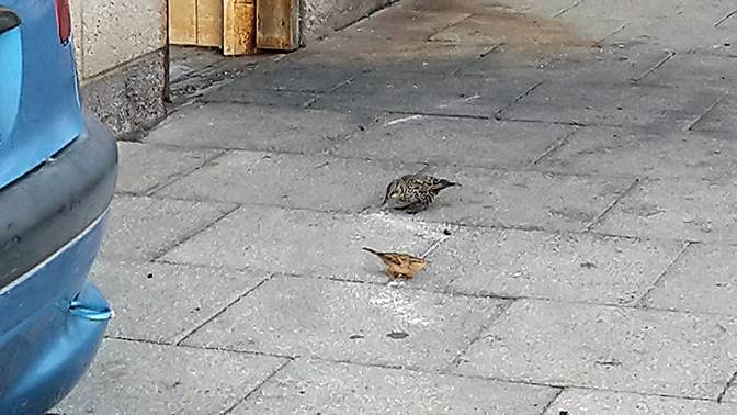 Common Starling feeding with House Sparrow