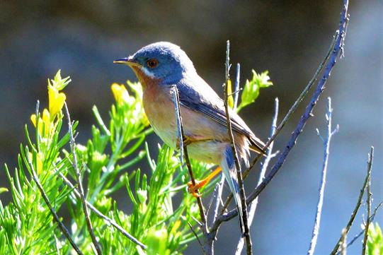 A lovely male Subalpine Warbler.       P. Rocca