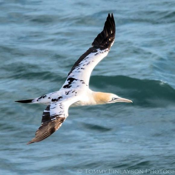 Third-year winter Gannet