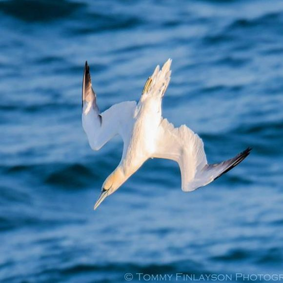 Adult Gannet diving.