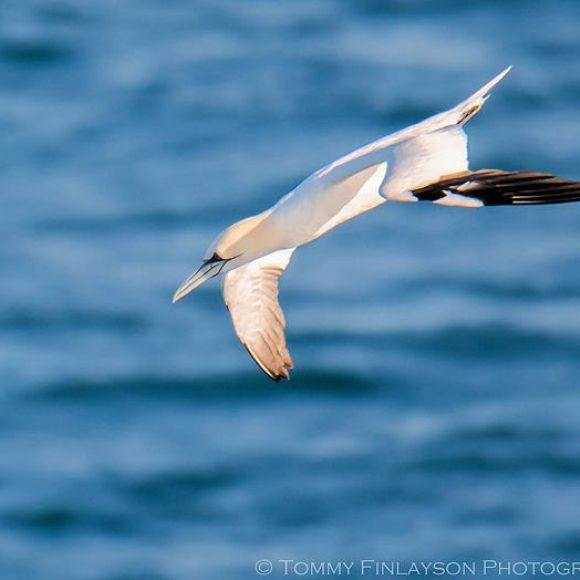 Adult Gannet diving