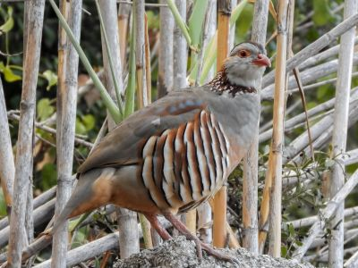 Barbary Partridge at Jews' Gate