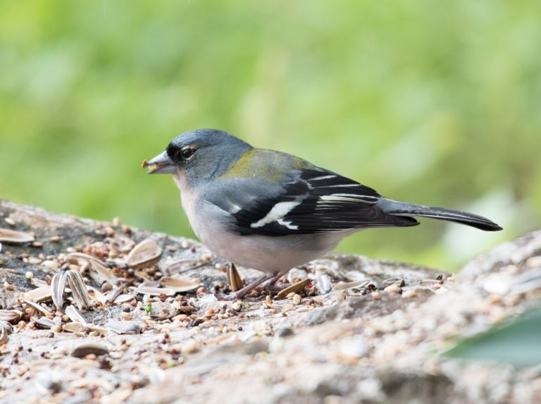 African Chaffinch recorded again in Gibraltar.