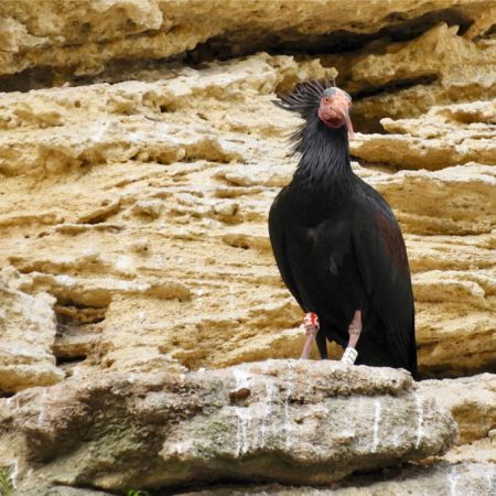 Northern Bald Ibis. Photo A. Yome