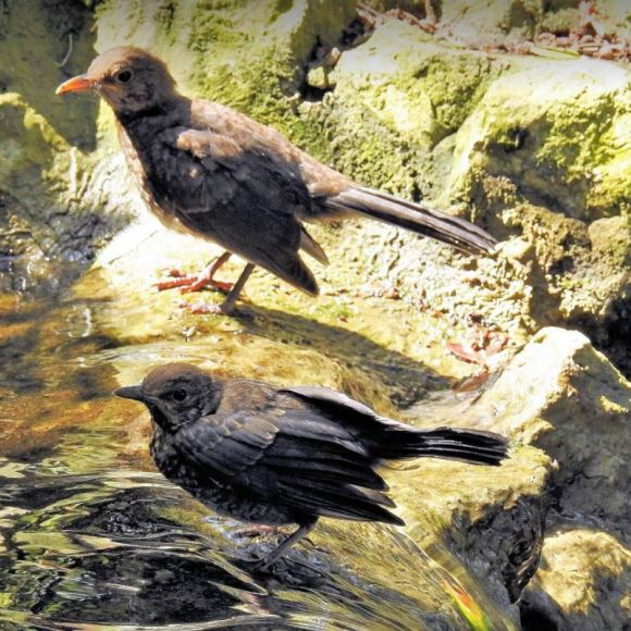 Two young Blackbirds bathing at the fountain in the Botanic Gardens.   Photo:  F.J. Odinius