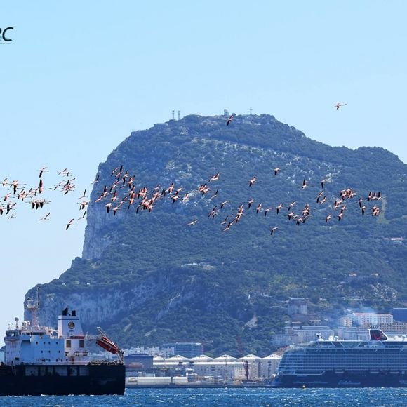 Flamingoes against the Rock of Gibraltar                                                    Photo: Luisa Haasova