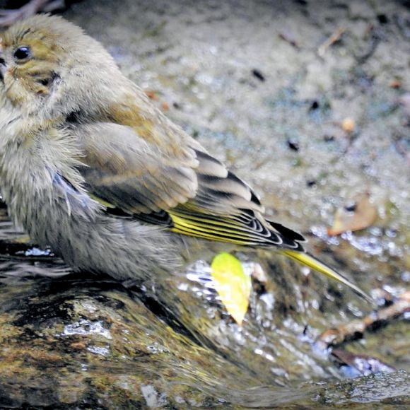 Juvenile Greenfinch. Photo: F.J. Odinius.