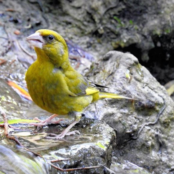 A nice and colourful adult Greenfinch. Photo: F.J. Odinius