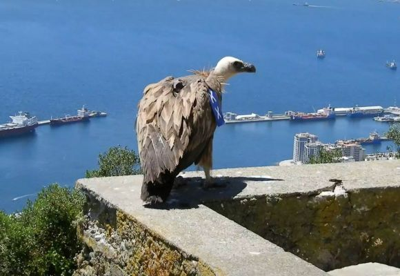 Griffon Vulture 'Harry' KX