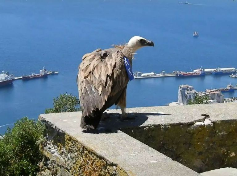 Griffon Vulture 'Harry' crosses the Strait