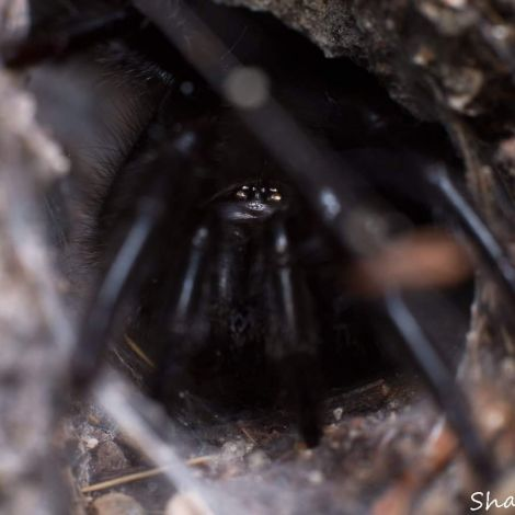 Macrothele calpeiana (Gibraltar funnel-web spider)