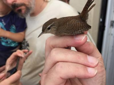 Wren in the hand