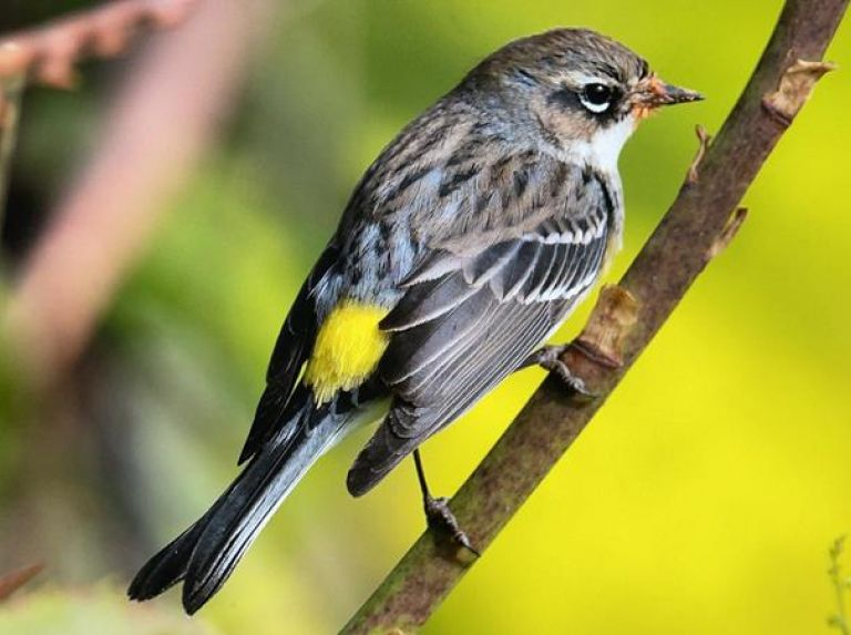 Myrtle or Yellow-rumped Warbler