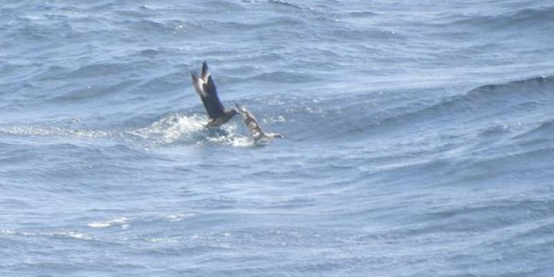 Great Skua harassing a Cory's Shearwater