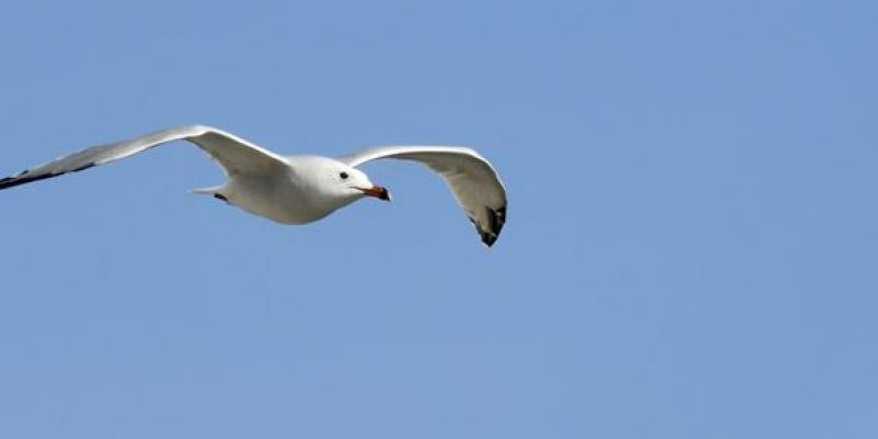 Adult Audouin's Gull