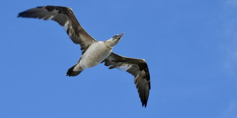 A second/year Northern Gannet