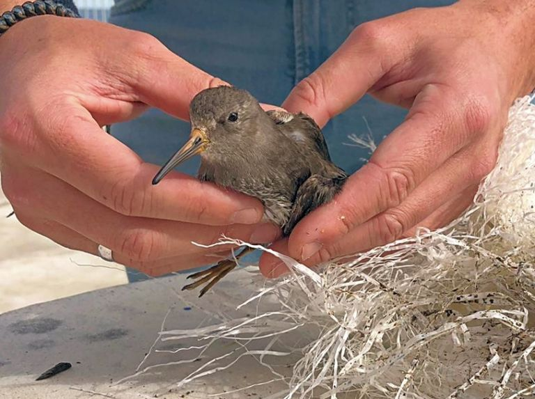 Purple Sandpiper rescued