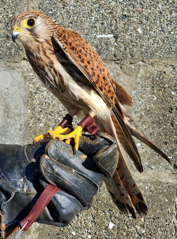 Rescued Kestrel in perfect condition ready for release