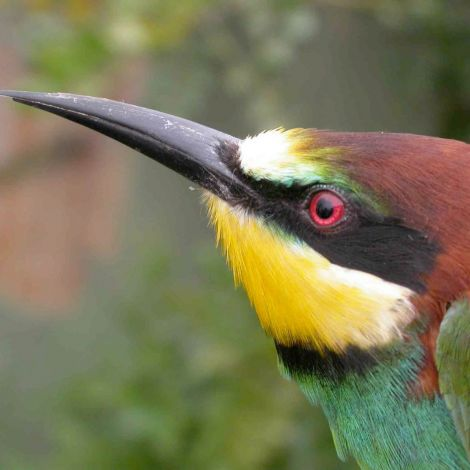bee-eater-
